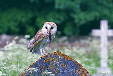 Barn owl (Tyto alba), with shrew in churchyard, United Kingdom, Europe
