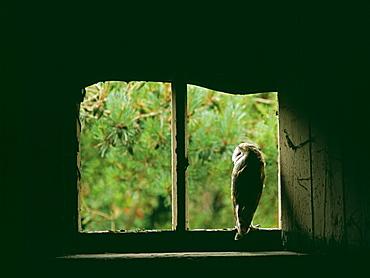 Barn owl (Tyto alba), peering from nest site in derelict barn, United Kingdom, Europe