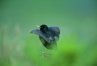 Starling (Sturnus vulagaris), displaying on post close to nesting colony, Shetland, Scotland, United Kingdom, Europe