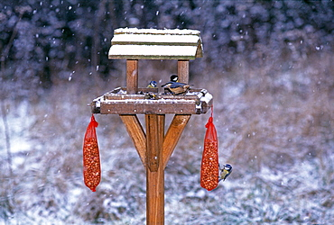 Garden birds including nuthatch and blue tits on bird table in winter, Kent, England, United Kingdom, Europe