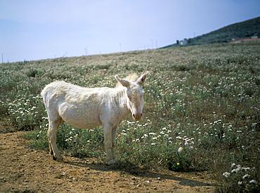 Donkey, Asinara, Sardinia, Italy, Europe