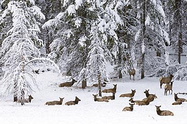 Elk herd, Yellowstone National Park, UNESCO World Heritage Site, Wyoming, United States of America, North America