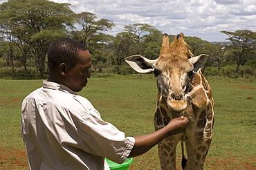 Rothschild giraffe, Giraffe Manor, Nairobi, Kenya, East Africa, Africa
