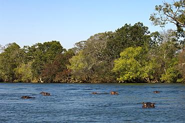 Hippopotamus, Lunga River, Kafue National Park, Zambia, Africa