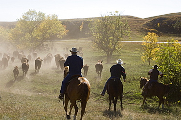 Cowboys pushing herd at Bison Roundup, Custer State Park, Black Hills, South Dakota, United States of America, North America