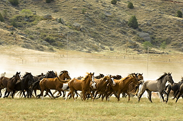 Black Hills Wild Horse Sanctuary, Hot Springs, South Dakota, United States of America, North America