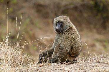 Olive baboon (Papio anubis), Masai Mara, Kenya, East Africa, Africa