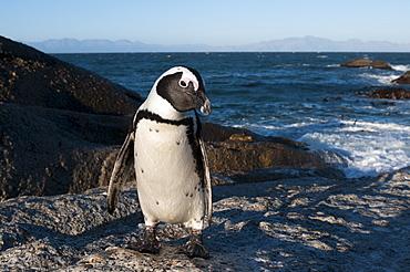 Jackass penguin (Speniscus demersus) (African penguin), Boulders Beach, Cape Town, South Africa, Africa