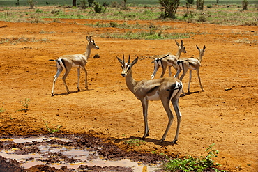 Grant's gazelle (Gazella granti), Tsavo East National Park, Kenya, East Africa, Africa