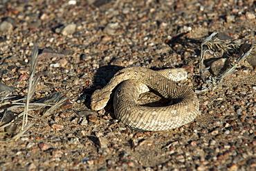 Sidewinder snake (Peringuey's adder) (Bitis peringueyi), Skeleton Coast National Park, Namibia, Africa