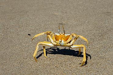 Ghost crab (Ocypode cursor), Skeleton Coast National Park, Namibia, Africa