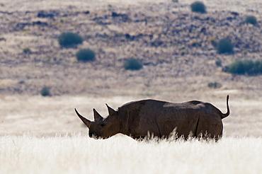 Desert adapted black rhinoceros (Diceros bicornis), Palmwag Concession, Damaraland, Namibia, Africa
