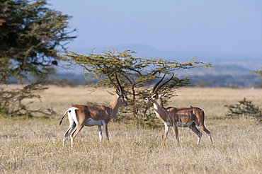 Grants gazelle (Gazella granti), Samburu National Reserve, Kenya, East Africa, Africa