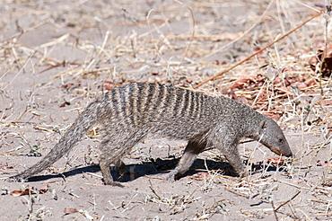 Banded mongoose (Mungos mungo), Chobe National Park, Botswana, Africa