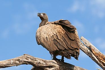 White-backed vulture (Gyps africanus), Chobe National Park, Botswana, Africa