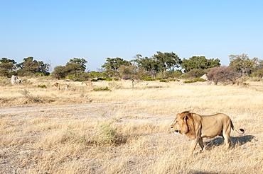 Lions (Panthera leo), Chief Island, Moremi Game Reserve, Okavango Delta, Botswana, Africa