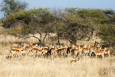 Impala (Aepyceros melampus), Chief Island, Moremi Game Reserve, Okavango Delta, Botswana, Africa