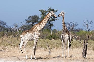 Southern giraffe (Giraffa camelopardalis), Chief Island, Moremi Game Reserve, Okavango Delta, Botswana, Africa
