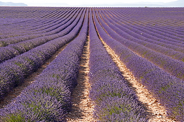 Lavender fields, Valensole, Provence, France, Europe
