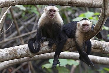 White-faced Capuchin monkey (Cebus capucinus), Curu Wildlife Reserve, Costa Rica, Central America