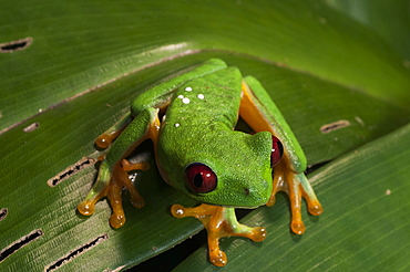 Red-eyed tree frog (Agalychnis callidryas), Manuel Antonio National Park, Costa Rica, Central America