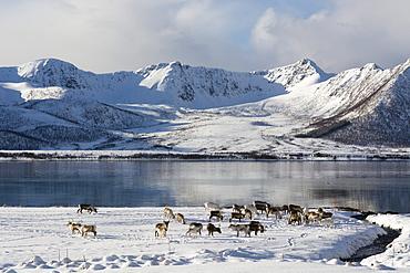 Reindeer (Rangifer tarandus), near Fornes, Vesteralen Islands, Arctic, Norway, Scandinavia, Europe