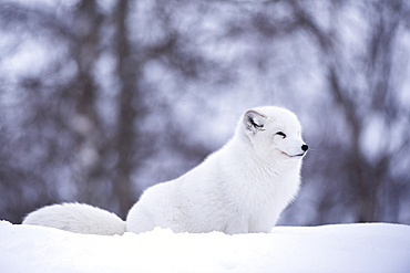 Arctic fox (Vulpes lagopus), Polar Park, Norway, Troms, Norway, Scandinavia, Europe
