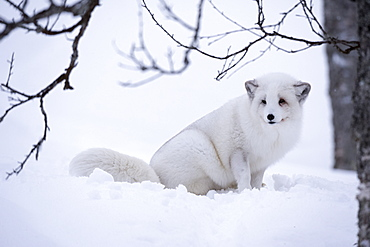 Arctic fox (Vulpes lagopus), Polar Park, Troms, Norway, Scandinavia, Europe