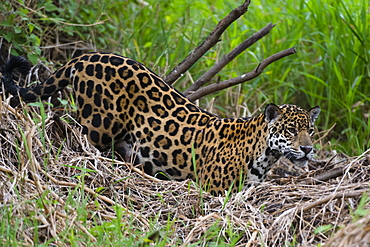 A jaguar (Panthera onca) moving through the grass, Cuiaba River, Pantanal, Mato Grosso, Brazil, South America