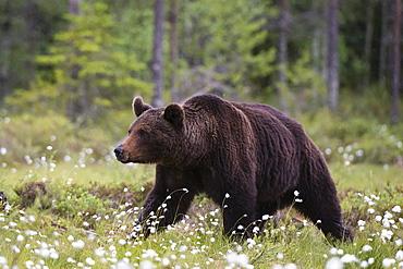 A European brown bear (Ursus arctos) walking in a meadow of blooming cotton grass, Kuhmo, Finland, Europe