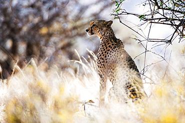 Portrait of a female cheetah (Acinonyx jubatus) in tall grass, Samburu National Reserve, Kenya, East Africa, Africa