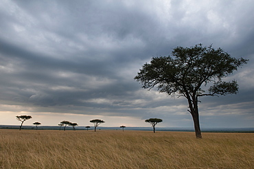 Acacia trees, Masai Mara National Reserve, Kenya, East Africa, Africa