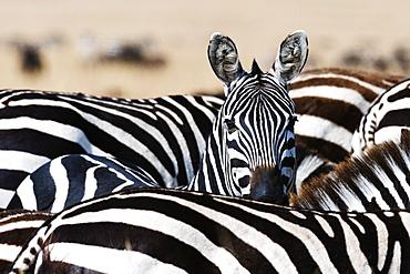 A Grant's zebra (Equus quagga boehmi) looking at the camera, Masai Mara National Reserve, Kenya, East Africa, Africa