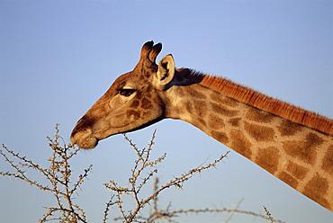 Giraffe eating thorny bush, Giraffa camelopardalis, Kruger National Park, South Africa, Africa
