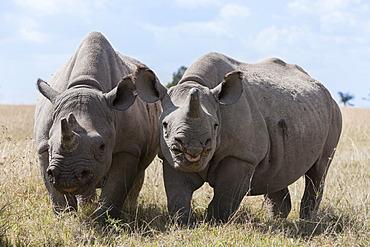 Two rhinoceros, Ol Pejeta Conservancy, Laikipia, Kenya, East Africa, Africa