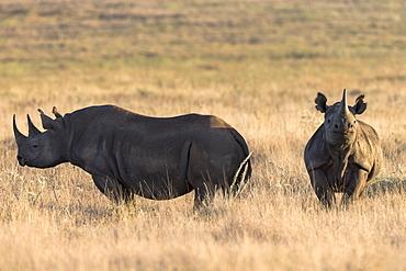 Black rhinos (Diceros bicornis), Lewa Wildlife Conservancy, Laikipia, Kenya, East Africa, Africa
