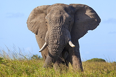 African elephant bull (Loxodonta africana), Phinda private game reserve, KwaZulu Natal, South Africa, Africa