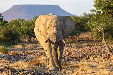 Elephant (Loxodonta africana), Damaraland, Kunene, Namibia, Africa