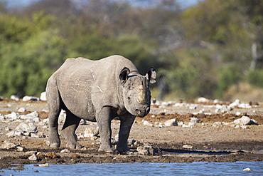 Black rhino (Diceros bicornis), Etosha National Park, Namibia, Africa