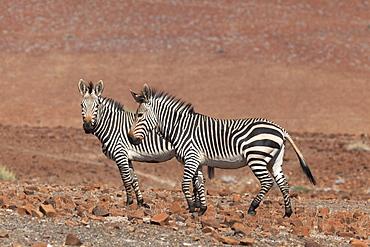 Hartmann's mountain zebra, (Equus zebra hartmannae), Kunene region, Namibia, Africa