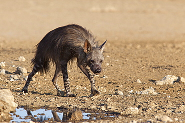 Brown hyena (Hyaena brunnea), Kgalagadi Transfrontier National Park, Northern Cape, South Africa, Africa
