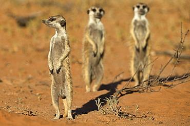 Meerkat (Suricata suricatta), Kgalagadi Transfrontier Park, Northern Cape, South Africa, Africa