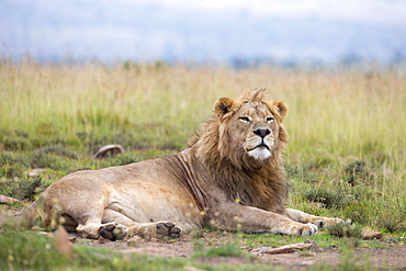 Lion (Panthera leo), Mountain Zebra National Park, Eastern Cape, South Africa, Africa