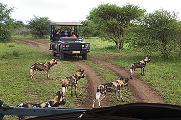 African wild dogs (Lycaon pictus) and game viewing vehicle, Madikwe Game Reserve, South Africa, Africa