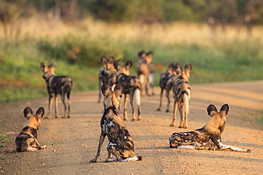 African wild dogs (Lycaon pictus), Madikwe Game Reserve, North West province, South Africa, Africa