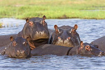 Hippopotamus (Hippopotamus amphibius) pod in river, Chobe National Park, Botswana, Africa