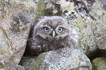 Little owl baby (Athene noctua), captive, United Kingdom, Europe