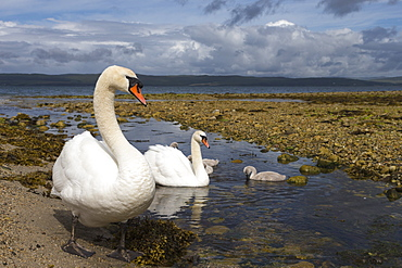 Mute swans (Cygnus olor) on seashore at freshwater stream mouth, Arran, Scotland, United Kingdom, Europe