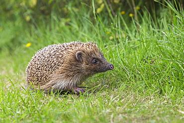 Hedgehog (Erinaceus europaeus), captive, United Kingdom, Europe