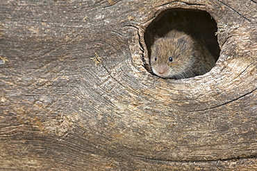 Field vole (Short-tailed vole) (Microtus agrestis), captive, United Kingdom, Europe